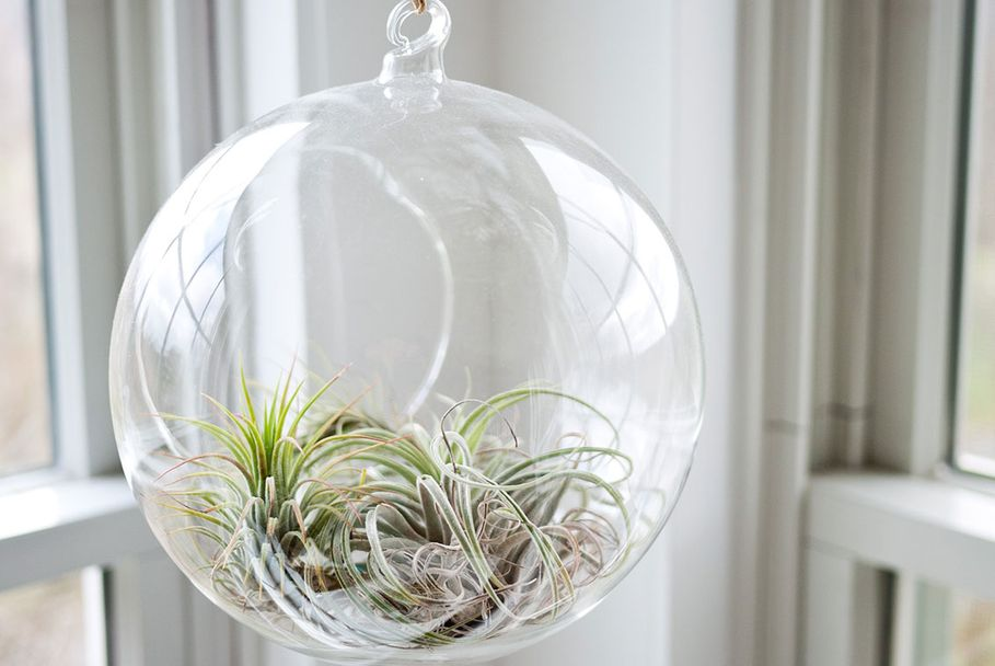 Tillandsia - how to buy, grow & care for air plants