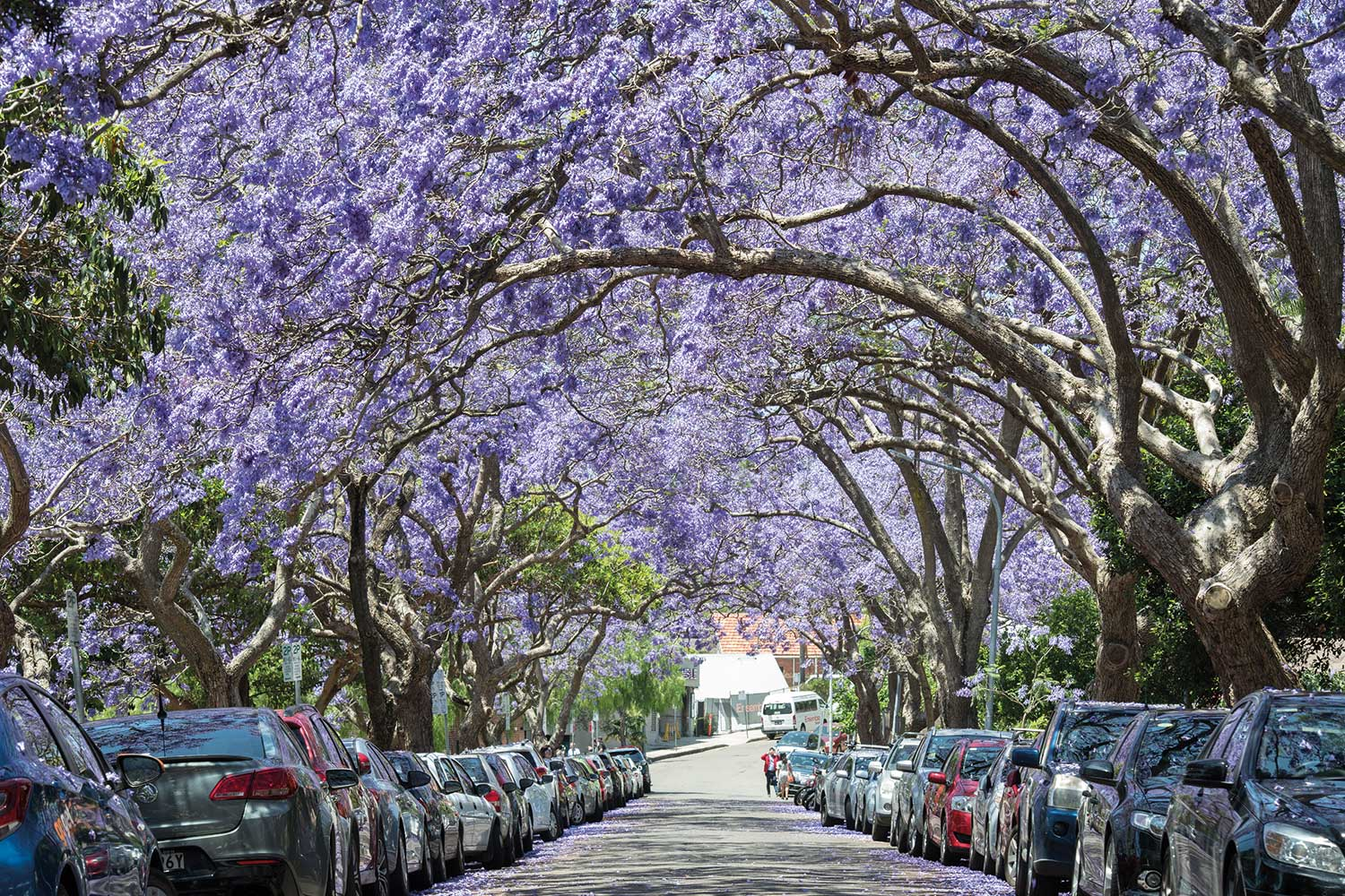 The Best Places To See Jacaranda Trees In Bloom Around