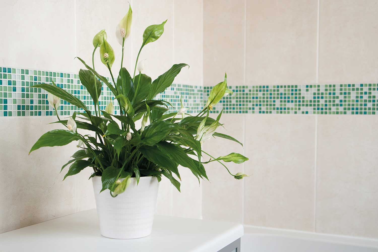 How To Care For Your Peace Lily Home Beautiful Magazine Australia